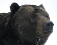 Большой черный медведь поднял на уши жителей квартала в Калифорнии