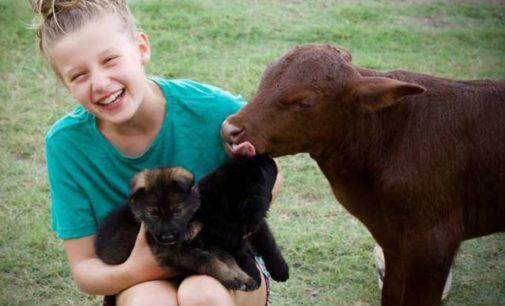 В Италии овчарка вырастила теленка, и он стал вести себя, как домашняя собака
