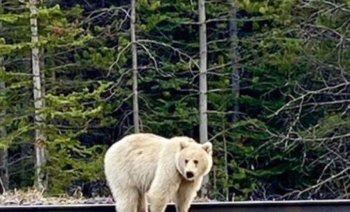 В горах Канады заметили медведя-альбиноса